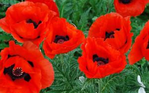 Veterans Day Poppy