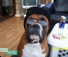 Dog Funny Boxer Pictures Caption Thumb