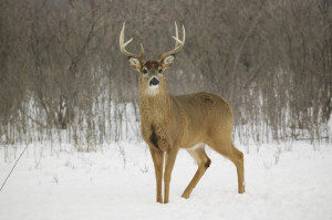 ECO Time: January 20 - White-tailed deer