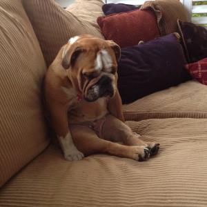 Cute English Bulldog napping sitting up