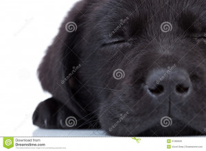 labrador-retriever-sleeping-21362926.jpg
