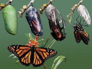 ... almost completely before morphing into butterflies in the chrysalis