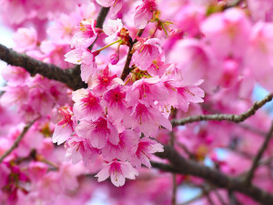 ... lovely website that has the prettiest cherry blossom items for sale
