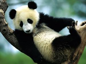 ... funny panda wallpapers funny panda desktop wallpapers funny panda