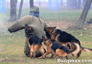 German Shepherds Attack...