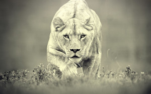 artist photographer antigesha tags lion 38 pics the lion panthera leo ...
