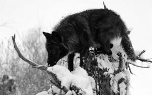 Black wolf arctic grey canis lupus quotes