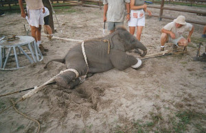 circuses do not treat animals well animals are forced to travel for ...