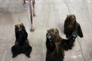 Bears Program Show
