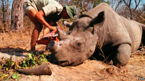 ... researcher in Zimbabwe to make the animal less attractive to poachers