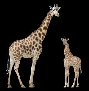Giraffe With Baby 4355