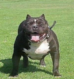Pit Bull Quotes Good Dogs Pitbull Dogzoraining