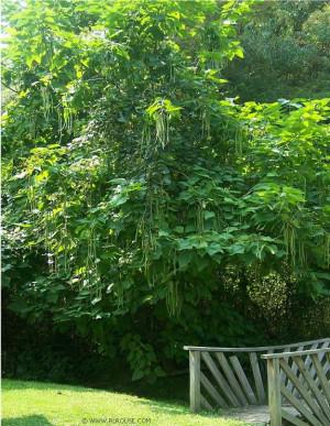 Mom Bean Tree