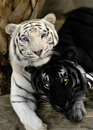 Online photograph depicting a normal tiger (alongside a white tiger ...