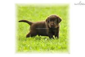akc-lab-pups--ivoryyellowblackchocolatedog-labrador-retriever-puppy ...