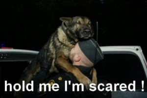 funny german shepherd picture funny german shepherd picture