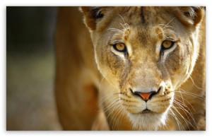 Beautiful Female Lion HD wallpaper for Standard 4:3 5:4 Fullscreen ...
