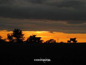 Texas Longhorn Sunset